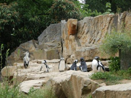 Zoo Berlin - Pinguine