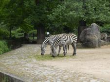 Zoo Berlin - Zebras