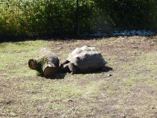 Tierpark Berlin - Riesen-Schildkröte