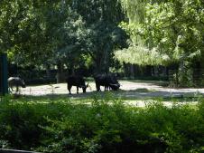 Tierpark Berlin - Afrikanische Büffel