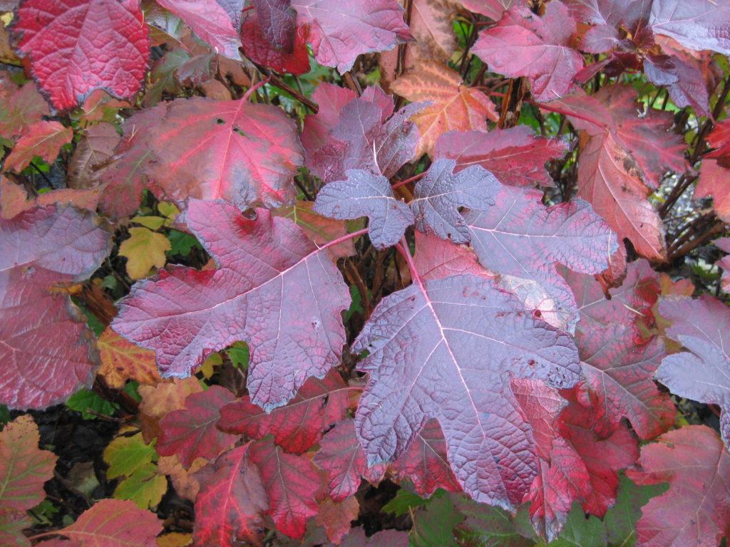 Oakleaf Color Fall Snow Hydrangea Queen