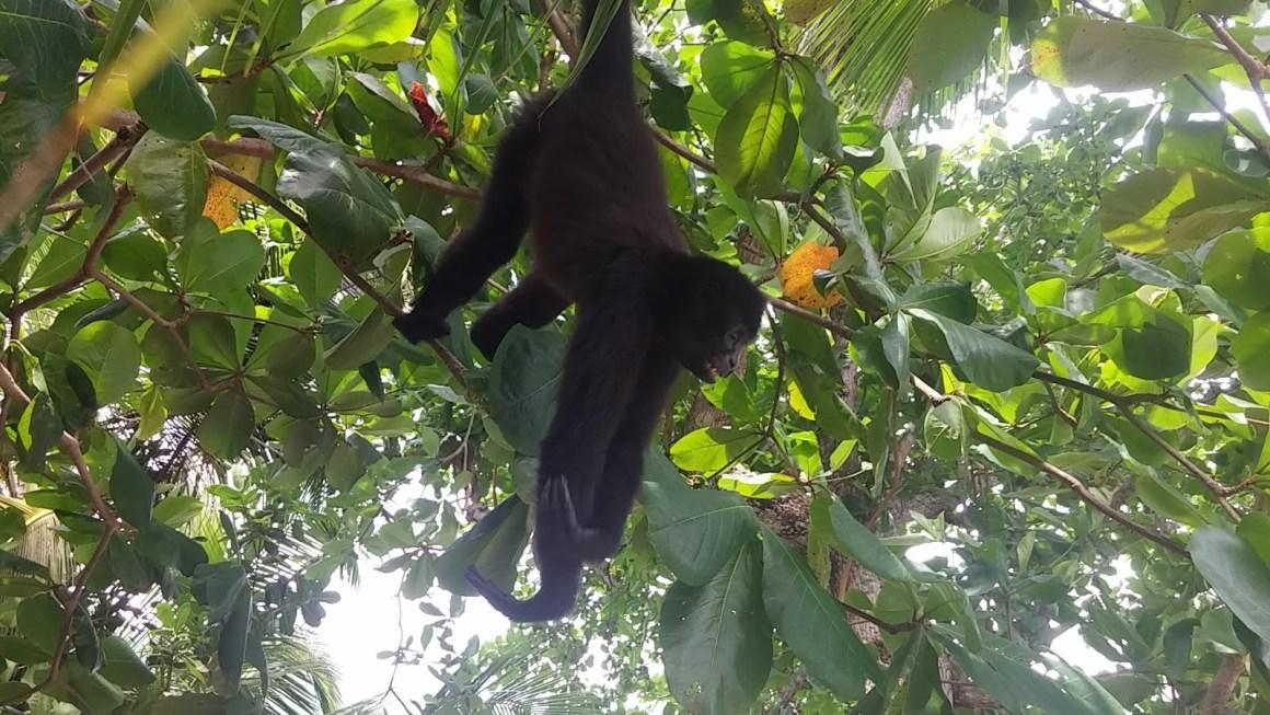 שגעון קופים, מאת עדי