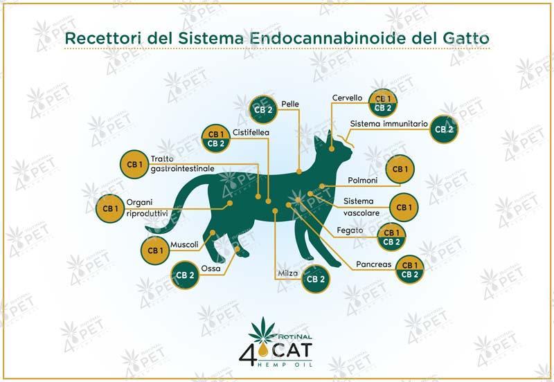 sistema-endocannabinoide-gatto