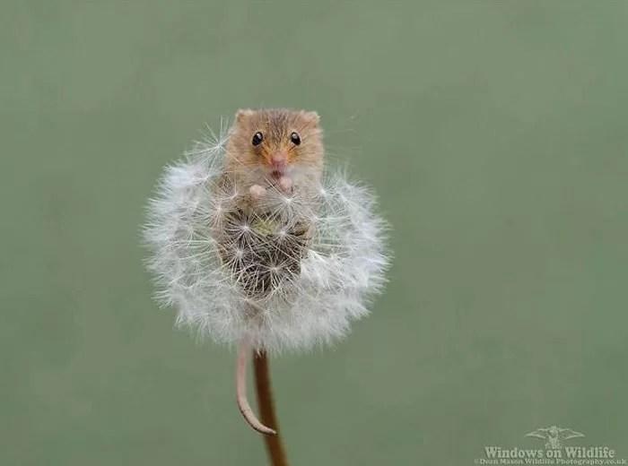 adoráveis ratinhos de colheita