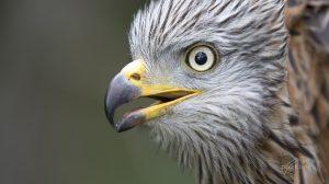 Quincy. Ein Portrait dieses hübschen Greifvogels. © S. Rösner