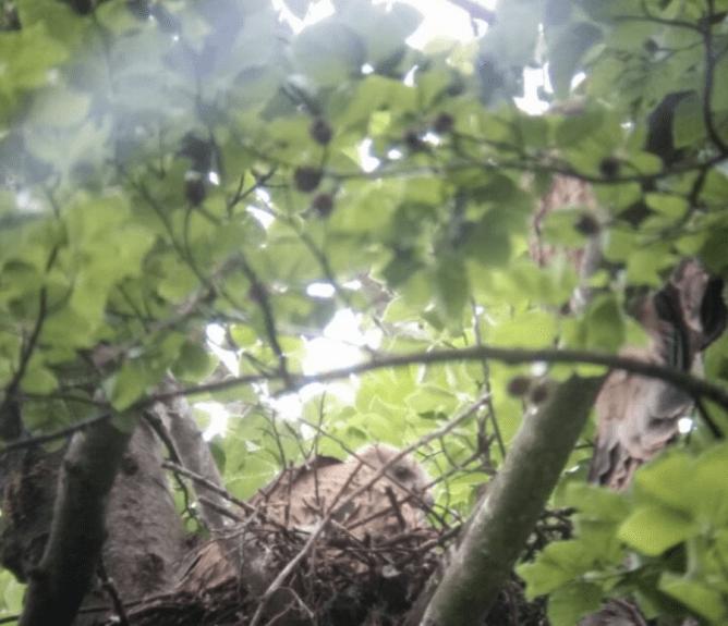 Flügel-Fehlstellung bei einem Ästlings des Rotmilans. © Th. Spatz & C. Grefen