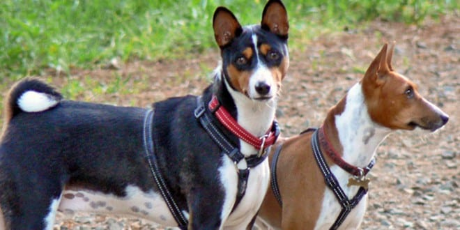 A Basenji Yodeling the Dog Breed That Can...