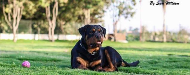 Rottweiler aggressive