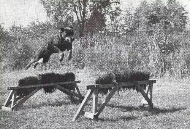 Rottweiler Old Historic Photographs