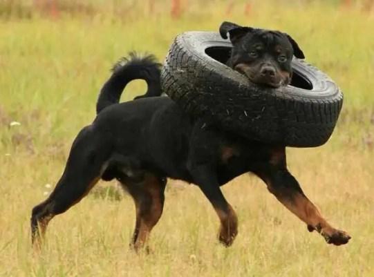 old rottweiler