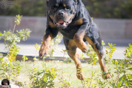 Rottweiler Enjoys Doing