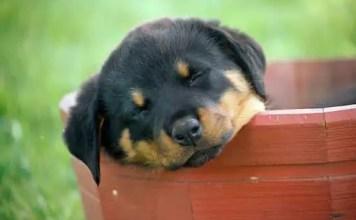 Rottweiler Behavior Problems Archives Rottweiler Life
