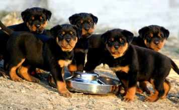 Rottweiler Behavior Problems Archives Rottweiler Life
