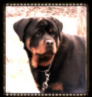Yonatan Rottweilers.png