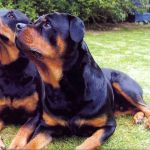 Two Rottweilers Having a Rest