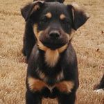 Why Choose A German Shepherd Rottweiler Mix As Your Next Pet?