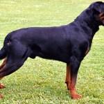 Rottweiler Standing in Grass