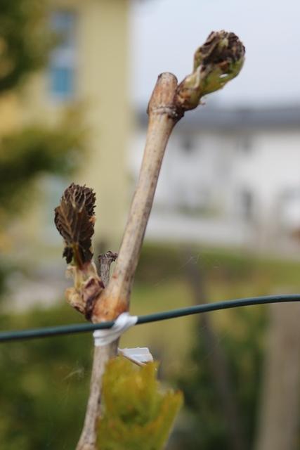 20140419 Wein-im-Garten 004