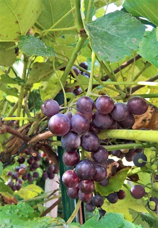 Weinreben im eigenen Garten