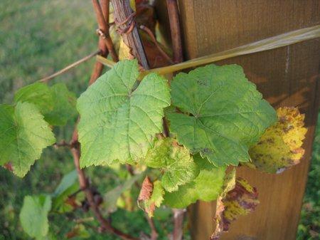 Grauburgunder Pinot-Gris