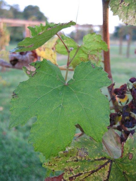 Grüner-Veltliner Weißwein