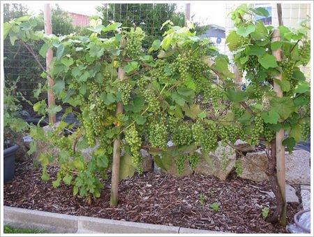 Weinrebe Wein-im-Garten1