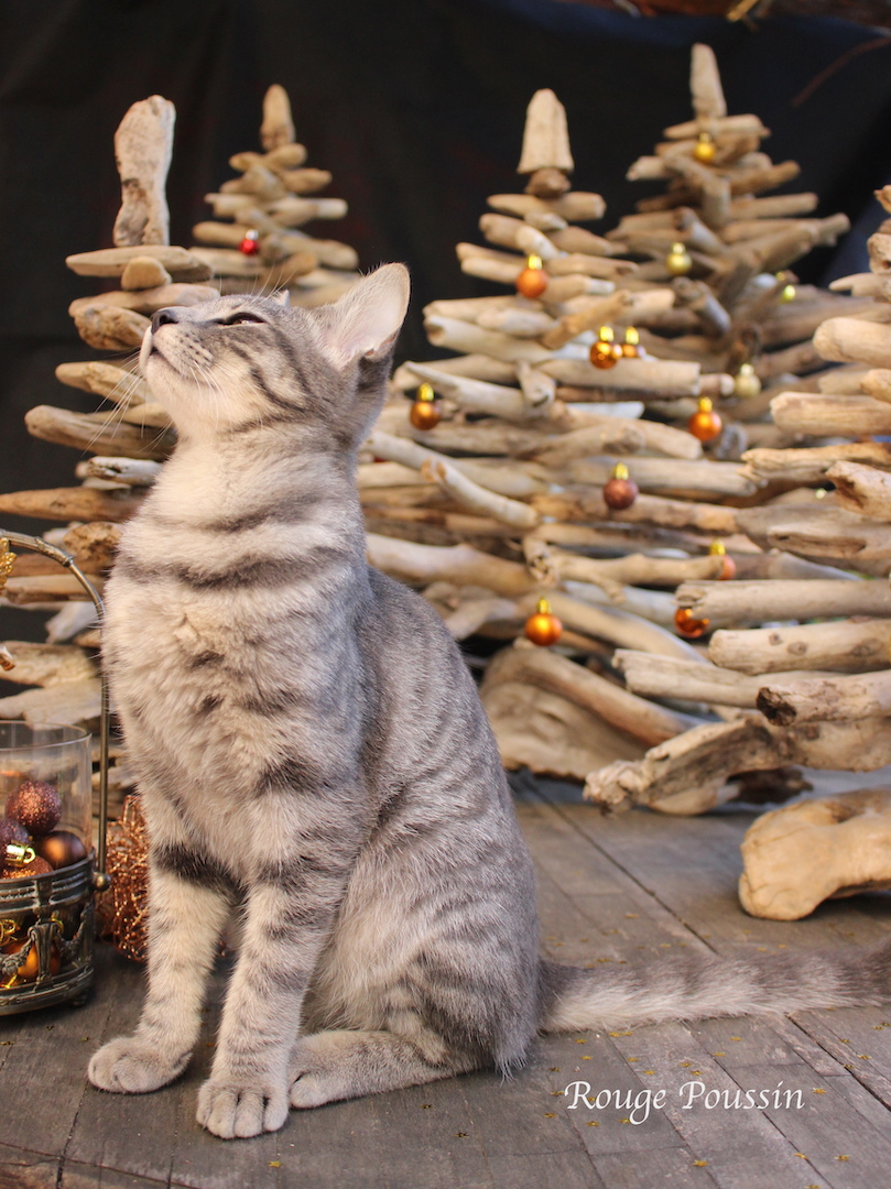 Petit chat qui s'incruste sur la photo - cat and christmas trees made of driftwood