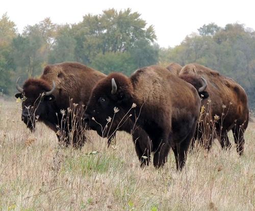 Buffalo at Midewin National Tallgrass Prairie