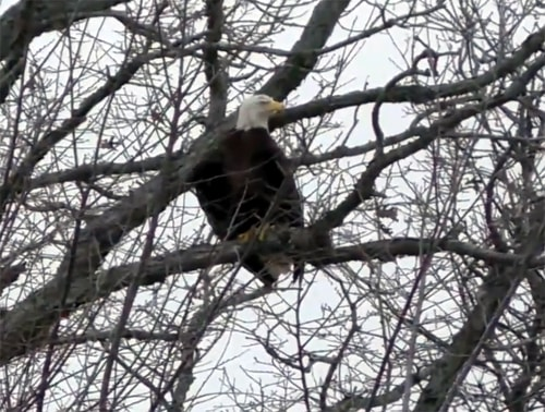 Formerly injured bald eagle released at lake near Litchfield