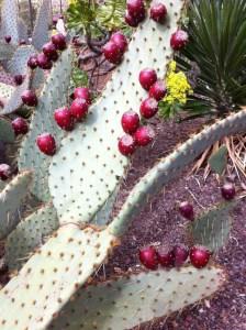 Cactus fruits, Jardin Botanico Canario