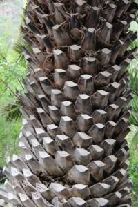 Palm tree, Jardin Botanico Canario