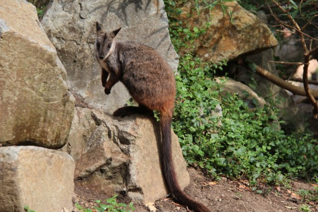 A rock-wallaby at Healesville Sanctuary, Yarra Valley