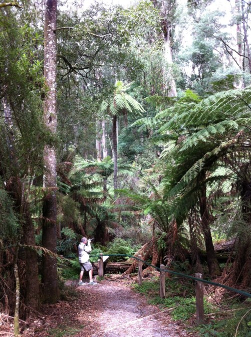 Mountain ash forest, Yarra Valley, Victoria