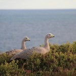 Geese on Phillip Island