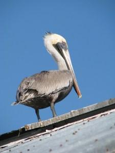 A pelican, Key West