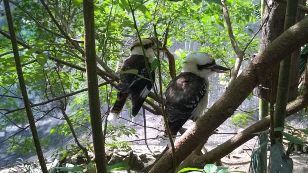 Kookaburras, Port Douglas Wildlife Habitat