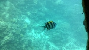 A Great Barrier Reef fish