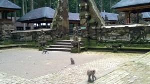 Monkeys living in the Sangeh Monkey Forest, Bali