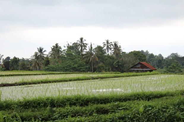 Rice fields, Bali day trip by car