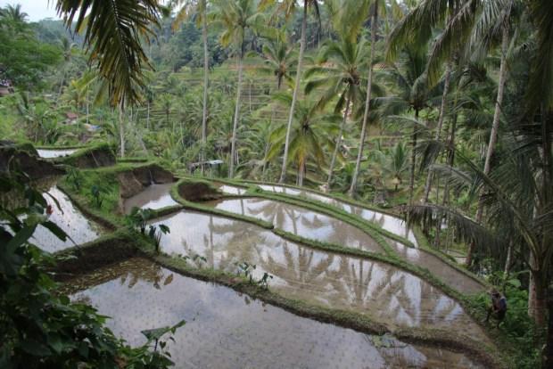 Tegallalang Rice Terrace view