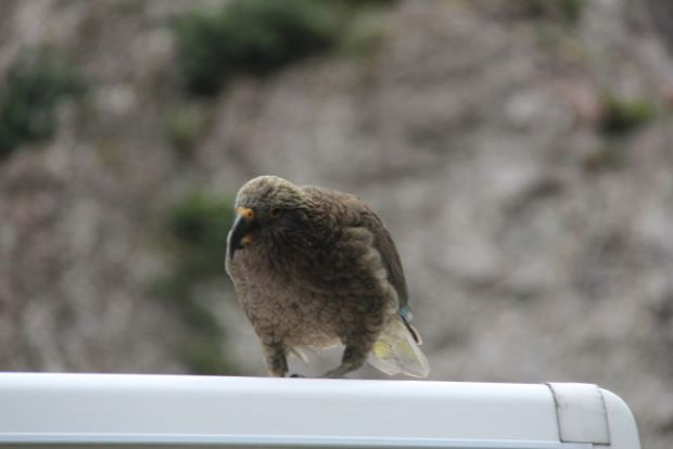 Drive from Christchurch to Greymouth, kea on our campervan roof