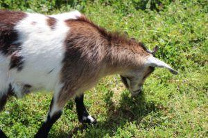 Old Faithful Geyser goat