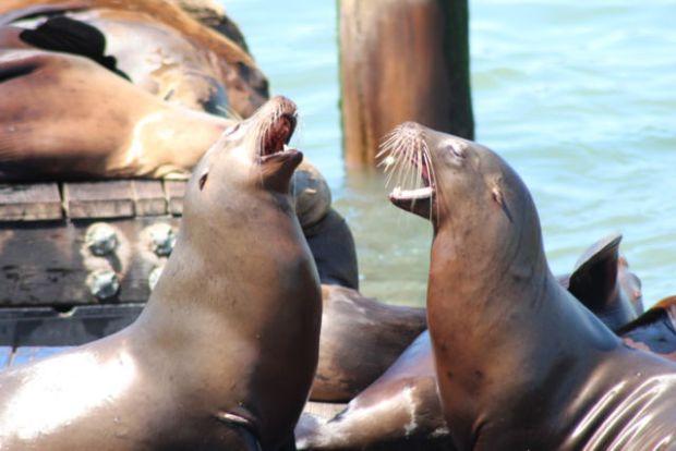 San Francisco sea lions making noise
