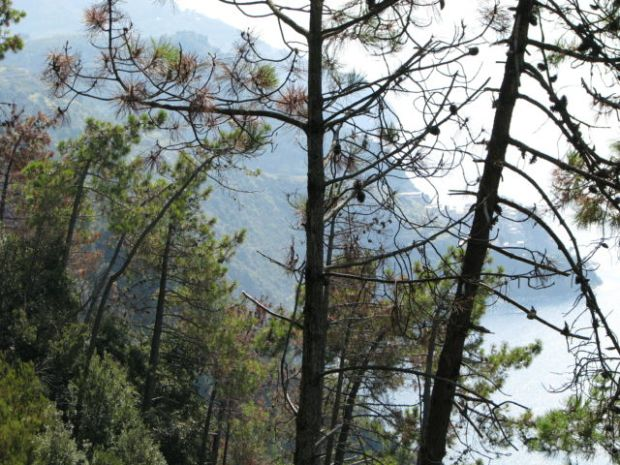 Hiking Cinque Terre Trails, pine trees