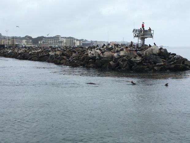 Monterey harbor seals