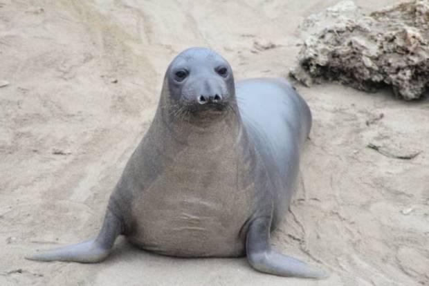 Californian elephant seal