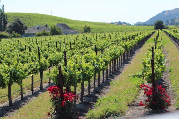 Santa Ynez Valley vineyard view