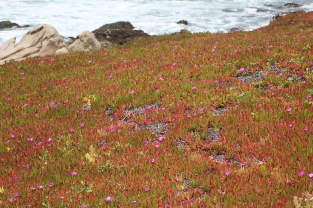 Ice plants along the San Francisco to Monterey drive