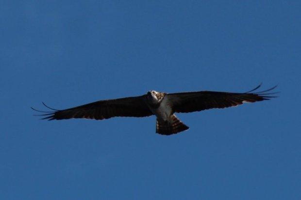Southern Konnevesi National Park osprey