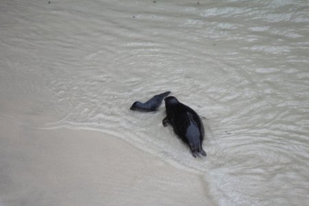 Point Lobos seals in water